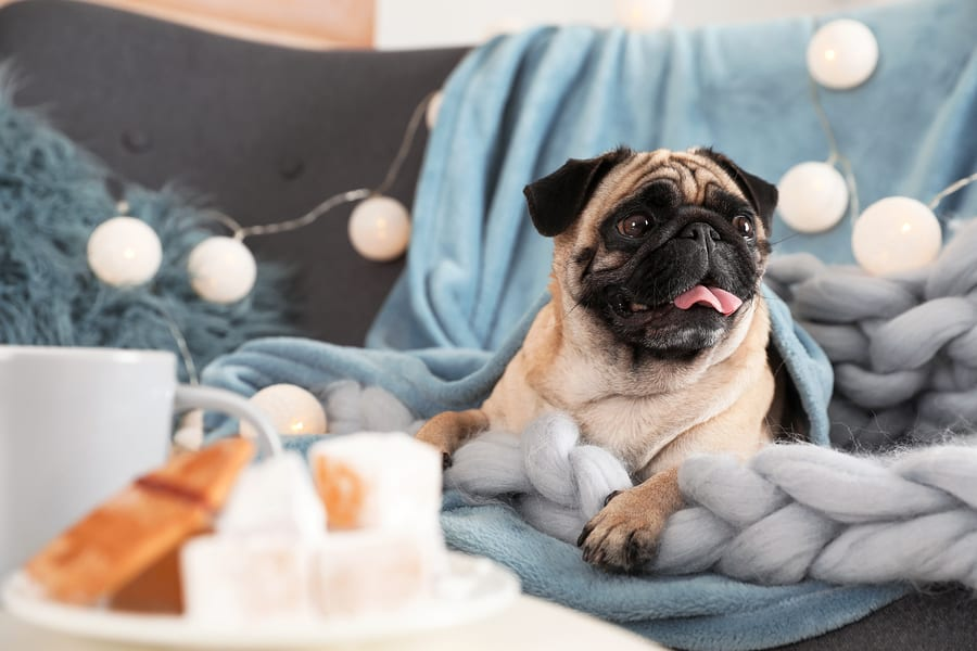 Do Pugs Shed? All Your Questioned Answered