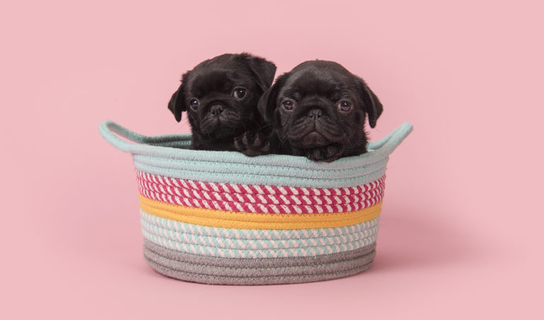 Pug Cost and Pricing: A Guide to Purchasing the Perfect Pup
