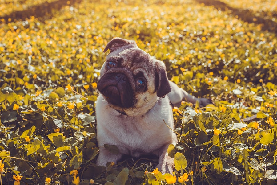 Pug Information for Owners and Enthusiasts: Facts, Tips, and Helpful Advice