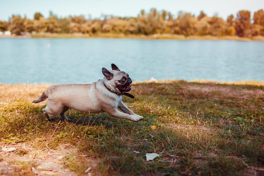 Pug exercise