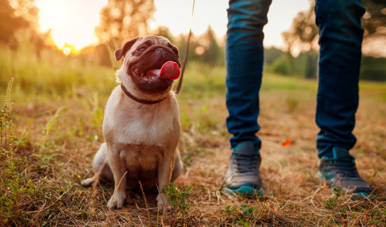 What is the Average Lifespan of a Pug?