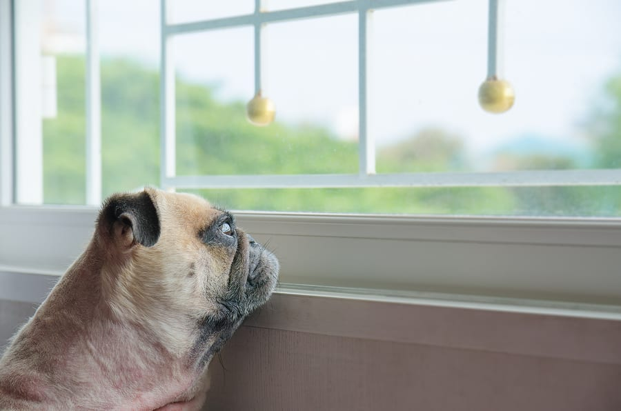 How Much Do Pugs Bark? Your Questions Answered