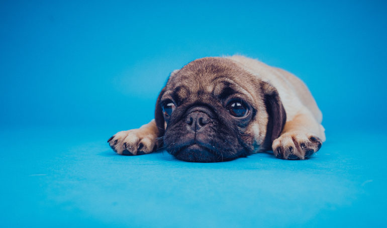 Pug Allergies: What Are They and How Can You Treat Them?