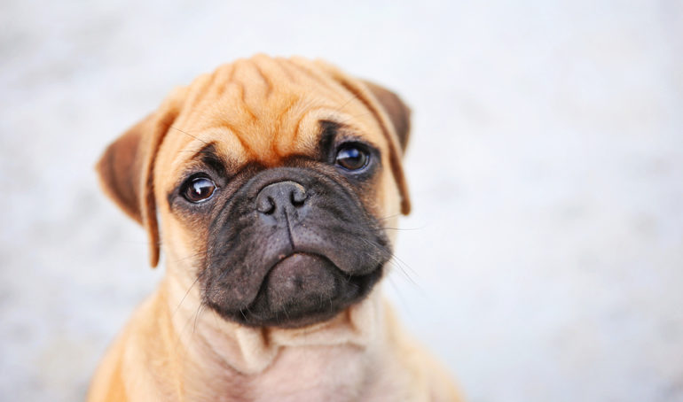 Pug Ears: Your Top Questions Answered