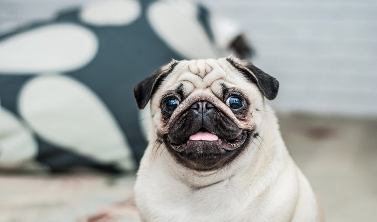 A Guide to The Pug Nose – What Owners Need To Know