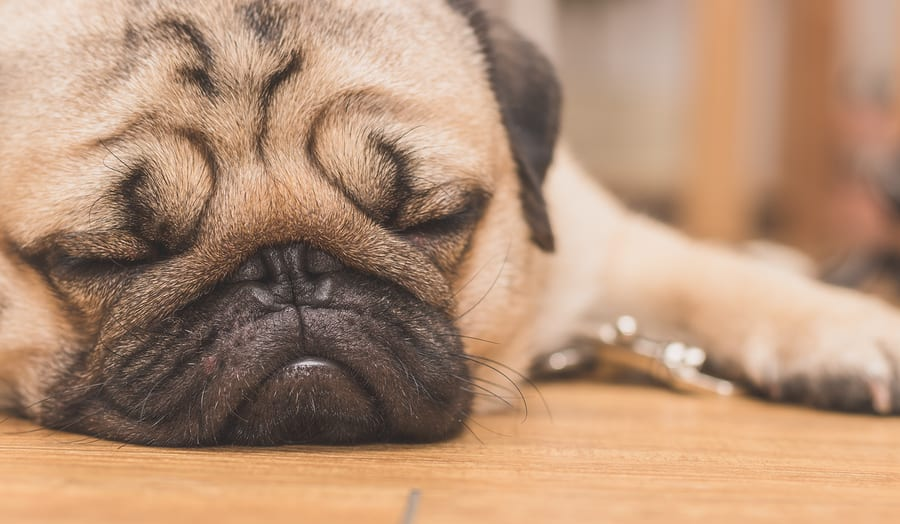What You Need to Know About the Pug Face