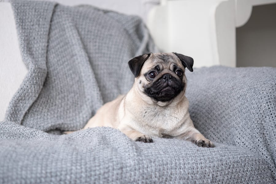 What Are The Most Common Pug Skin Problems?