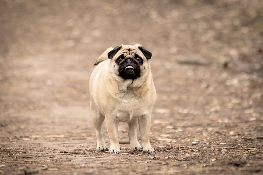 Types of Pugs - Fawn