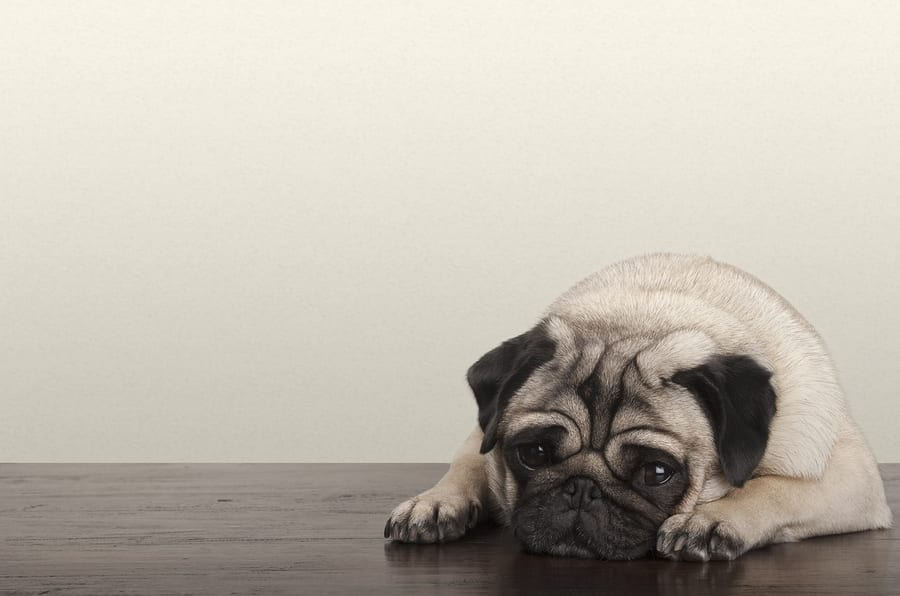What's The Best Pug Pet Insurance? This Article Compares The Top Providers