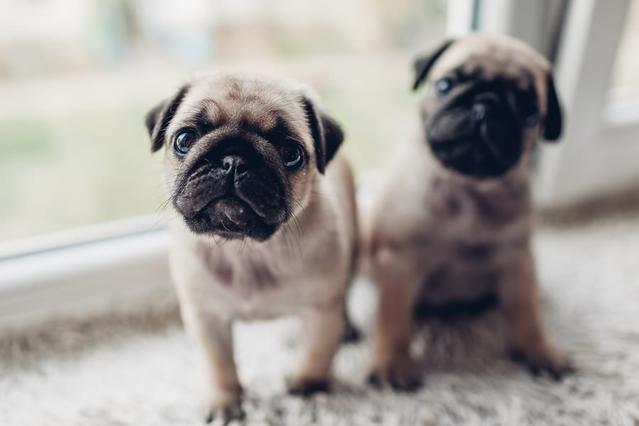 What Are The Different Types of Pugs?