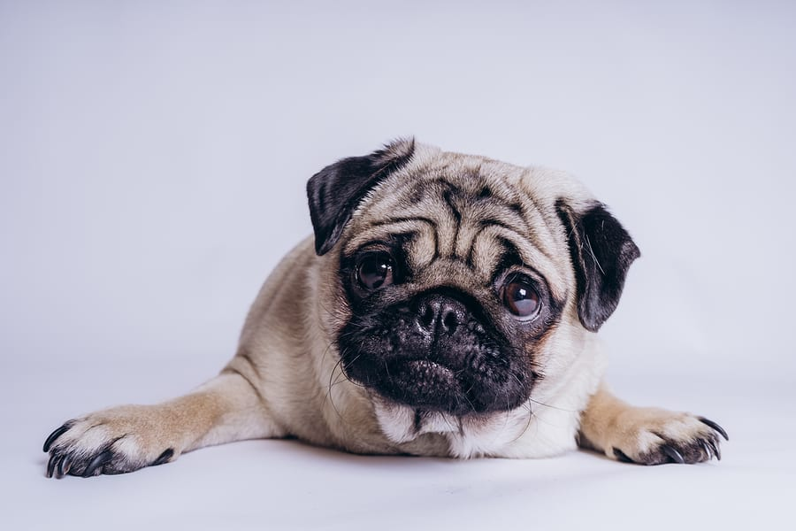 Why Is My Pug Constipated? Reasons and Remedies