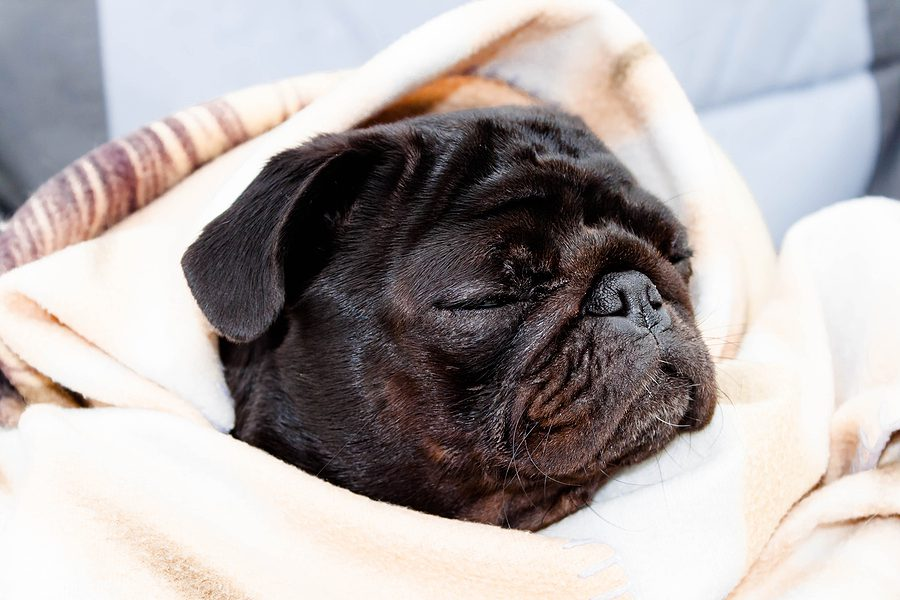 Is it Normal for My Pug to Snore?